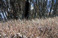 Herbe sèche en Jasper National Park image libre de droits