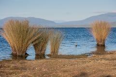 Herbe s'élevant sur le rivage de Brunner de lac Photos libres de droits