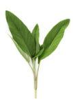 Herbe - sauge Photos stock