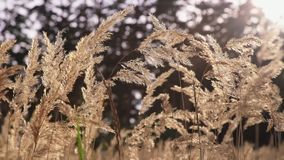 Herbe sauvage d'épillets à l'aube Usines à la lumière du soleil clips vidéos
