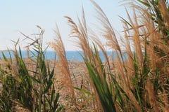 Herbe sauvage et transitoires sur le vent photos stock