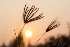 Herbe sauvage silhouettée au coucher du soleil Images libres de droits