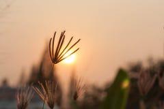 Herbe sauvage silhouettée au coucher du soleil Image libre de droits
