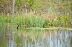 Herbe se reflétant dans le lac Image libre de droits