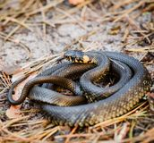 Herbe-serpent, additionneur en premier ressort photo stock