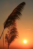 Herbe sur le coucher du soleil d'été Images stock