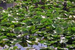 Herbe sur le marais Photographie stock