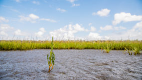 Herbe sur le marais Photo libre de droits