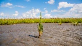 Herbe sur le marais Image libre de droits