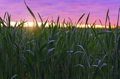 Herbe sur un fond de lever de soleil Photo stock