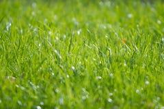 Herbe sur une pelouse Images stock