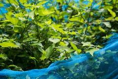 Herbe thaïlandaise avec le filet bleu autour, la Thaïlande Photos libres de droits