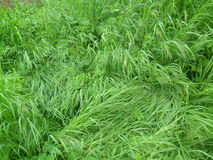 Herbe très verte Photos libres de droits