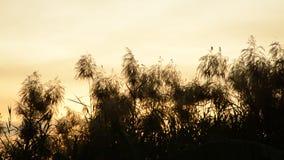 Herbe tubulaire de fleur découlant du coup de vent sur le ciel de coucher du soleil banque de vidéos