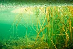 Herbe tubulaire sous la glace dans l'étang figé de castor Photos stock