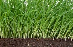 Herbe vert clair Photo stock