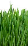 Herbe vert clair Photo libre de droits