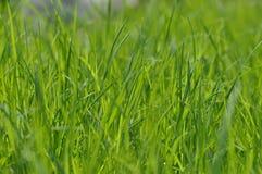 Herbe vert clair fraîche d'été Fond de ressort avec une pelouse verte pour la conception, papier peint, bureau Instruction-macro  photographie stock