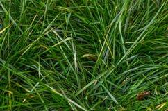 Herbe, vert, fond Photographie stock libre de droits