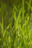 Herbe verte à la lumière du soleil Photos libres de droits