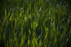 Herbe verte Images libres de droits
