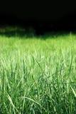 Herbe verte photos libres de droits
