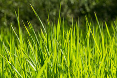Herbe verte Photo stock