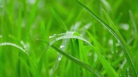 Herbe verte après pluie banque de vidéos