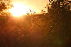 Herbe verte au coucher du soleil jaune Image stock