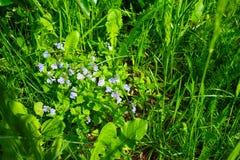 Herbe verte avec de petites fleurs bleues de Veronica Dubravnaya photographie stock libre de droits