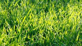 Herbe verte avec des baisses de rosée sous les rayons du soleil photos stock