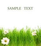 Herbe verte avec des camomiles Image libre de droits