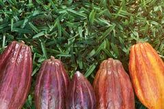 Herbe verte avec des cosses de cacao Image libre de droits