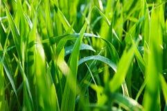 Herbe verte avec des gouttes de pluie Photographie stock