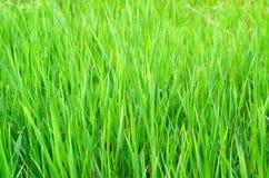 Herbe verte avec la goutte de l'eau Image libre de droits