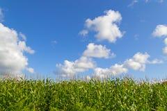 Herbe verte avec le ciel bleu lumineux Photo libre de droits