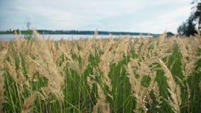 Herbe verte avec les oreilles d'or et pelucheuses, rivière, nature banque de vidéos