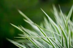 Herbe verte avec les rayures argentées Image libre de droits