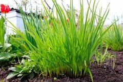 Herbe verte avec les tulipes rouges sur le fond photos stock