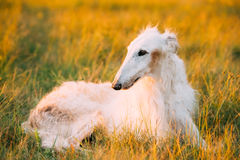 Herbe verte blanche de Sit Outdoor In Summer Meadow de chien de chasse de Gazehound photo libre de droits