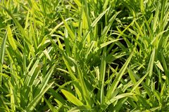 Herbe verte comme fond photographie stock
