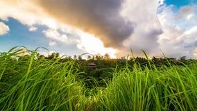 Herbe verte couverte de rosée fraîche au coucher du soleil et à la temps-faute de nuages dans Ubud sur l'île de Bali en Indonésie clips vidéos