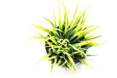 Herbe verte décorative dans le pot métallique Image stock