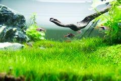 Herbe verte d'aquarium Photos libres de droits