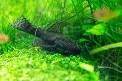 Herbe verte d'aquarium Photographie stock