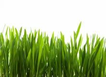 Herbe verte d'art sur le fond blanc Image libre de droits