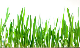 Herbe verte d'isolement photographie stock