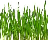 Herbe verte d'isolement photo libre de droits