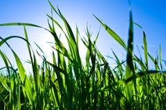 Herbe verte dans la lumière arrière avec le ciel bleu et le soleil Image stock