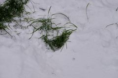 Herbe verte dans la neige Images stock